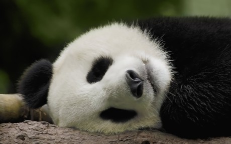 panda-thesuiteworld-animal-sleeping