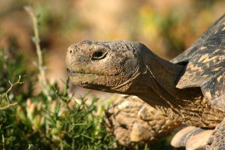 Tortoise_head